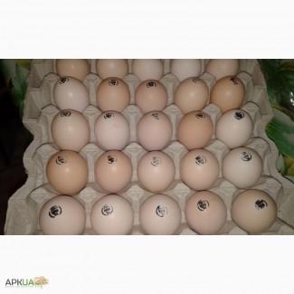 Яйцо инкубационное бройлер Росс-708, Кобб-500.Венгрия