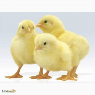 Циплята добові, цыплята суточные, київська обл