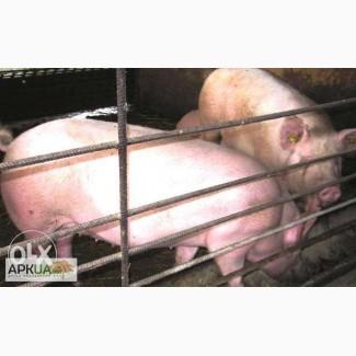 Продам свини живым весом