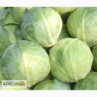 Продам семена Капуста белокочанная поздняя Амтрак F1