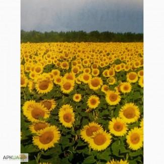 Посевной подсолнечник под евролайтинг 2016 Аракар, Заклик семена подсолнуха Элита