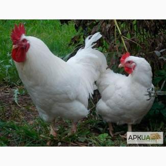Цыплята суточные и подрощеные мясо-яичной породы Геркулес. с вакцинацией