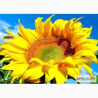 Продам семена подсолнечника Алексей (Антей 50), под гранстар