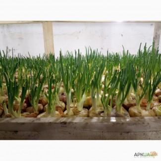 Продам лук для выращивания перо. Сорт Штутгарт