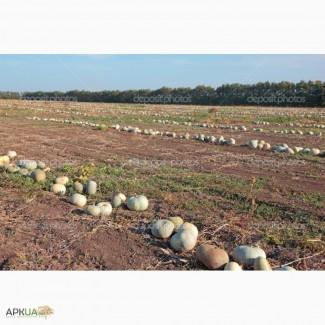 Посевной материал тыквы