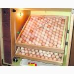 Яйцо инкубационное несушка