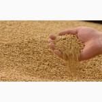 Пшеница 3, 6 класс