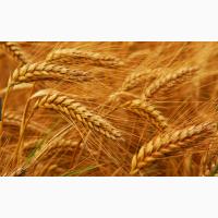 Закупаем ячмень, пшеницу с хозяйств по выгодным ценам