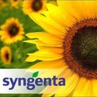 Семена подсолнечника Сингента Syngenta -высокопродуктивные гибриды