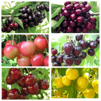 Саженцы новых крупноплодных сортов черешни и вишни опт и розница