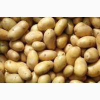 Продам картофель оптом на экспорт