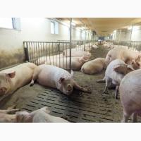 Куплю свиней от 100 голов