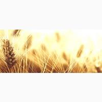 Підприємство купить пшеницю третього класу та фураж. По Івано-Франківській області