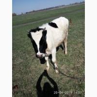 Продам телок на коров