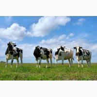 Куплю бики, корови, телиці, телята)