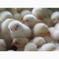 Цыплята бройлерные кобб 500, росс 708