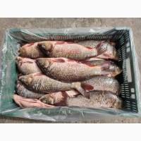 Продам речную рыбу карп очищенный и потрошенный