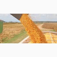 Закупаем Кукурузу любые объёмы, вся Украина