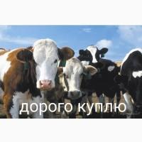 Куплю крупный рогатый скот КРС ВРХ