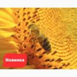 Семена подсолнечника НС-СУМО-2017 под Гранстар