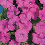 Продам семена Петуния Карлик Фиолетовый F1