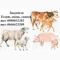Куплю свеней, овець, телят