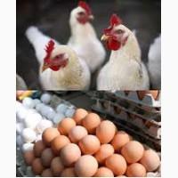 Несушки Ломан. Купить яйцо для инкубации Кривой Рог