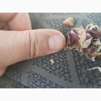 Продам воздушку (бульбочку) чеснока сорт Любаша