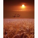 Предприятие закупает за наличные зерновые и масличные культуры