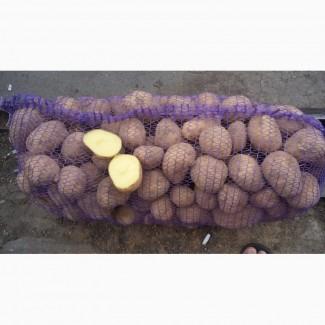 Продам картофель со склада оптом. Сорта.СКАРБ.АЛАДИН, Кировоградская обл