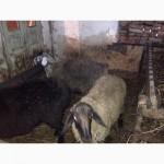 Продам гиссарских баранов, возраст от 5 месяцев до 3 лет