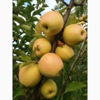 Продам яблука ріхних сортів