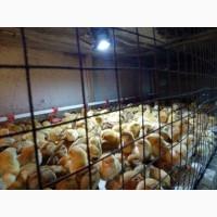 Продам суточных и подрощеных цыплят