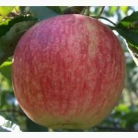 Яблоки Росавка - опт и крупный опт