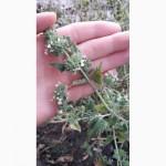 Семена Мелиса мята