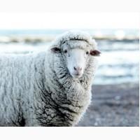 Закупаем овечью шерсть