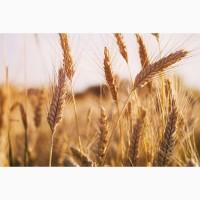 Закупаем оптом Пшеницу, Кременчуг