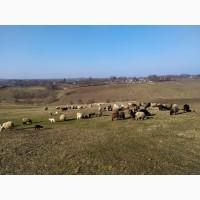 Продаються вівці