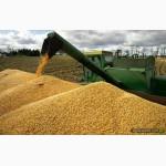 Дорого Покупаю Кукурузу