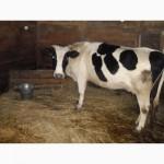 Корова, за 5 теленком, спокойной породы