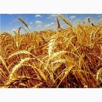 Насіння пшениці озимої с.Краєвид, с. Щедрівка Київська, с.Поліська-90