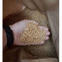 Семена пшеницы TESLA, канадский трансгенный сорт мягкой (двуручки) пшеницы