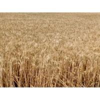 Озимая пшеница Нива Одесская, семена (элита, 1 репродукция), урожай 2019 года