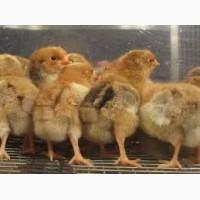 Суточные цыплята Нью-Гемпшир
