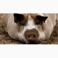 Продам свиней живым весом 1, 2 котегории