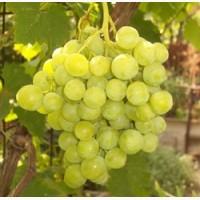 Продам виноград Сурученский