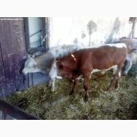 Закуповуєм худобу