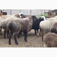 Продам овец КУРДЮЧНЫХ на развод