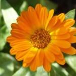 Календула, цветки.Нагідки, цвіт