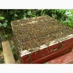 Продам Пчелопакеты Одесская обл